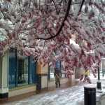 snow on cherry blossoms