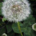 dandelion tall