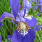 sm blue iris