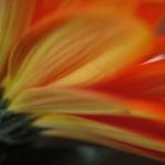 petal blurr