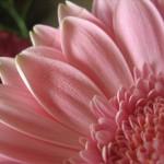 quarter pink