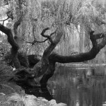willow on pond b&w