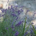 Motled morning light on lavender.
