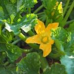 Blooming squash.
