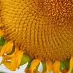 Sunflowers reaching up 10 feet.