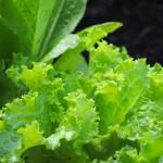 Lettuce selection.